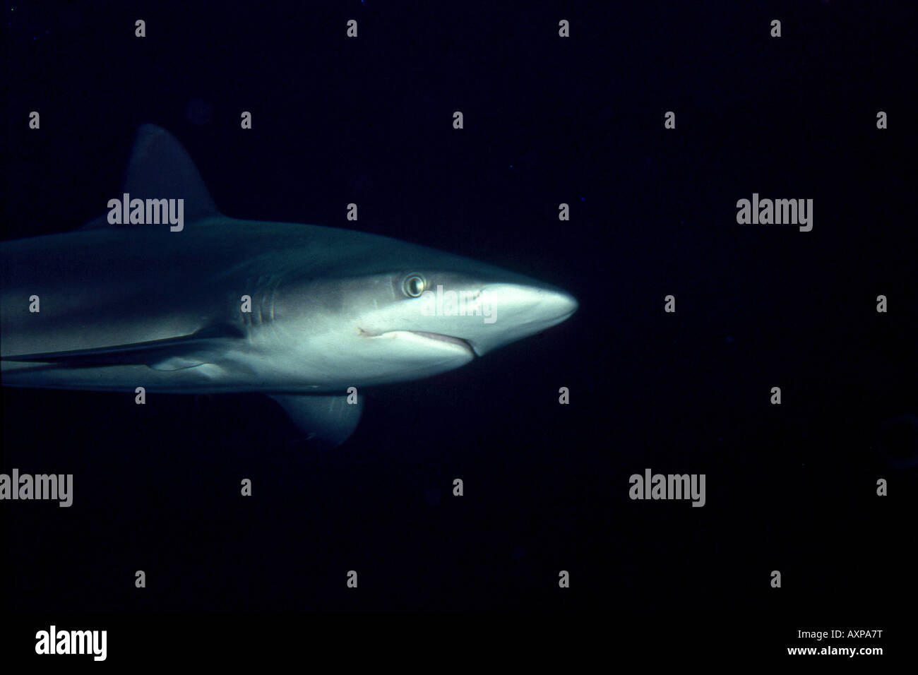 Whaler, Carcharhinus sp., at Manly Marineland - Stock Image