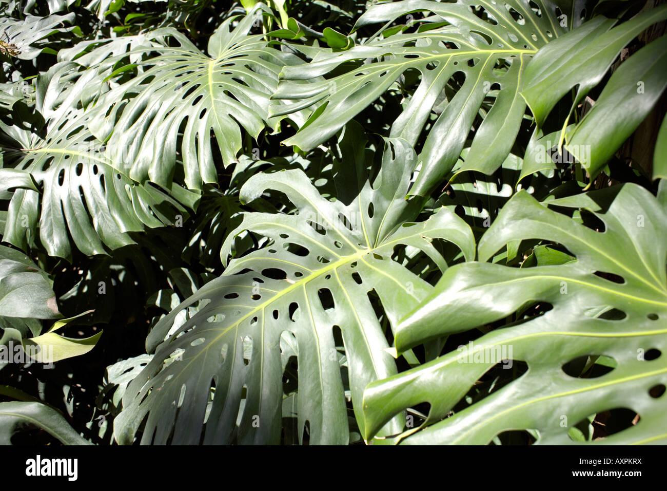 Swiss Cheese Plant ( Monstera deliciosa ) family Araceae - Stock Image