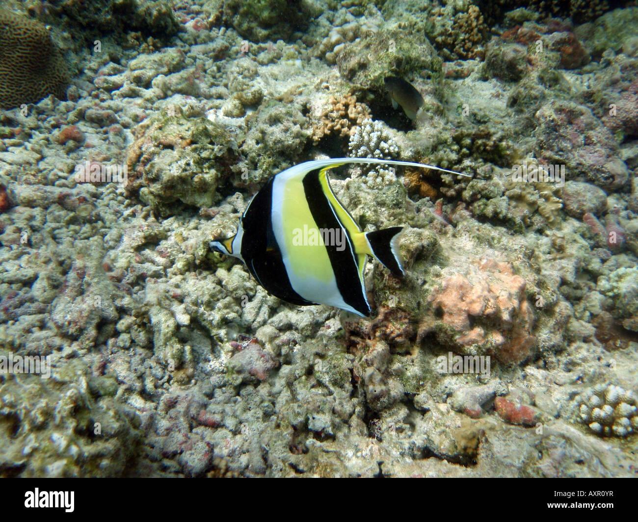 Moorish Idol [Bandos Island Reef, Kaafu Atoll, Maldives, Asia]                                                  Stock Photo