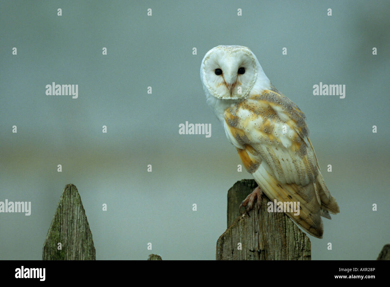 Barn Owl Tyto alba perched on an old fence post in the mist making eye contact - Stock Image