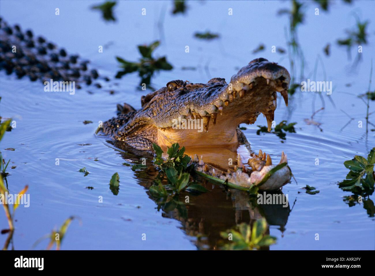 Estuarine crocodile Crocodylus porosus Kakadu National Park Northern Territory Australia - Stock Image