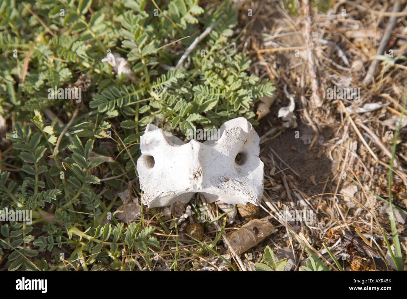 Ausgebleichter Rueckenwirbel, vertebra - Stock Image
