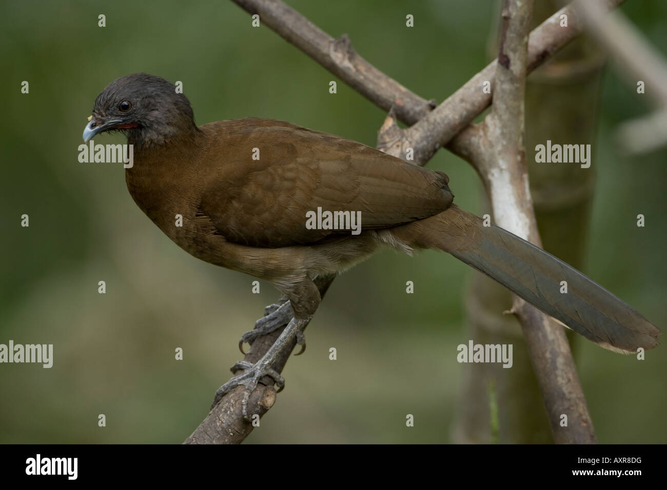 Grey headed Chachalaca Ortalis cinereiceps - Stock Image