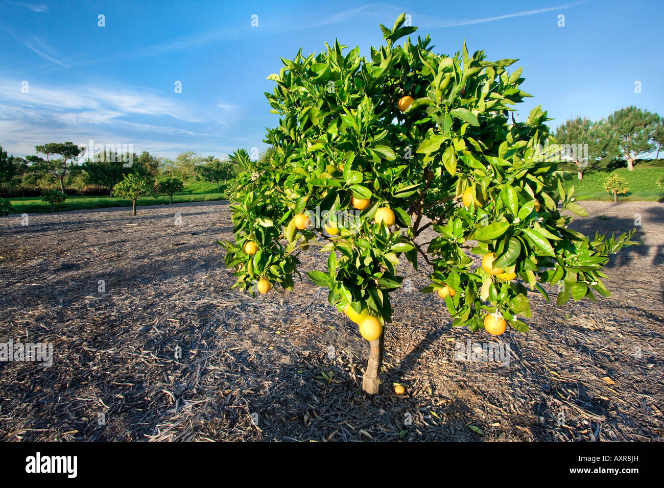 Orange tree in a grove in Southern California Stock Photo