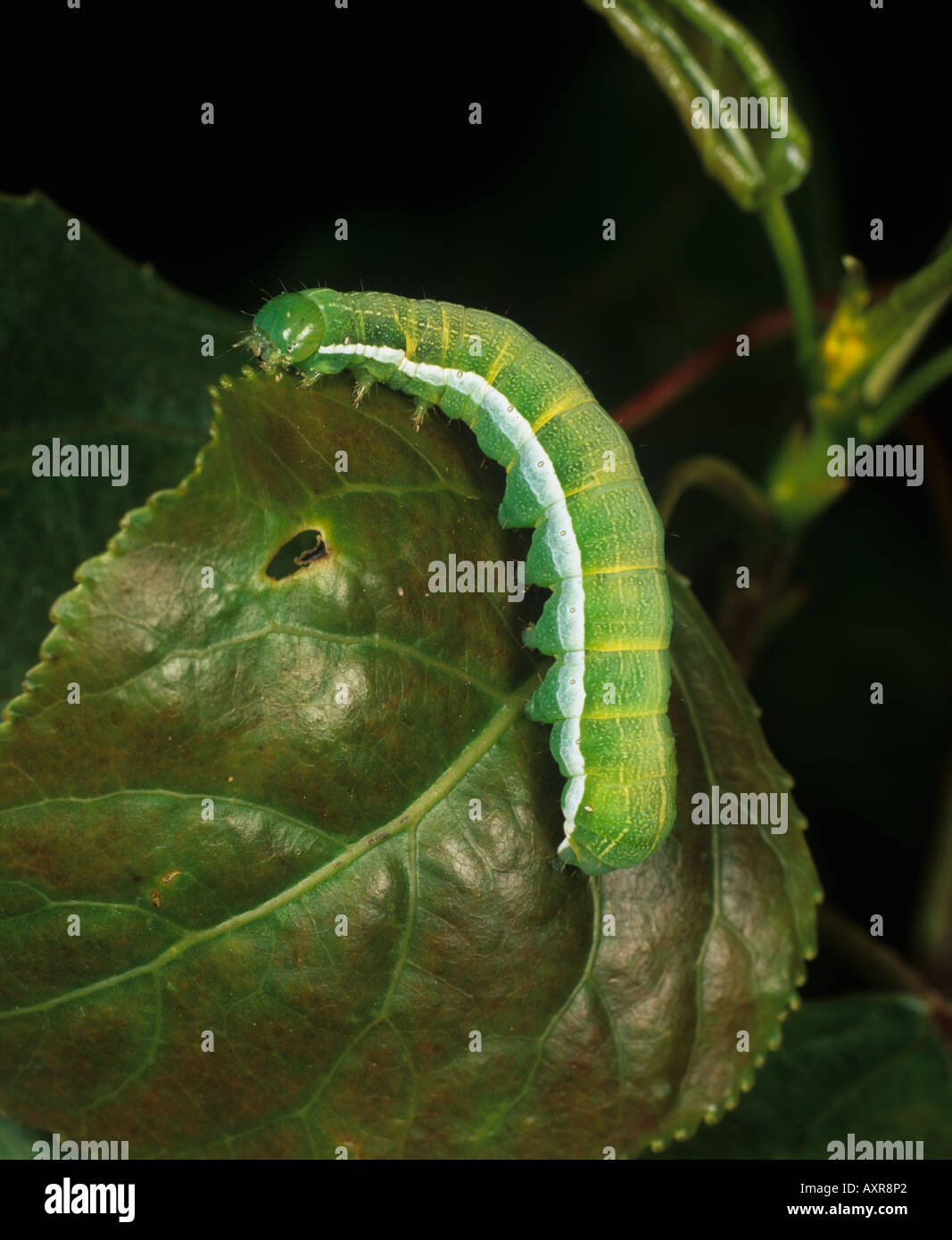 Hebrew character moth Orthosia gothica caterpillar on a leaf - Stock Image