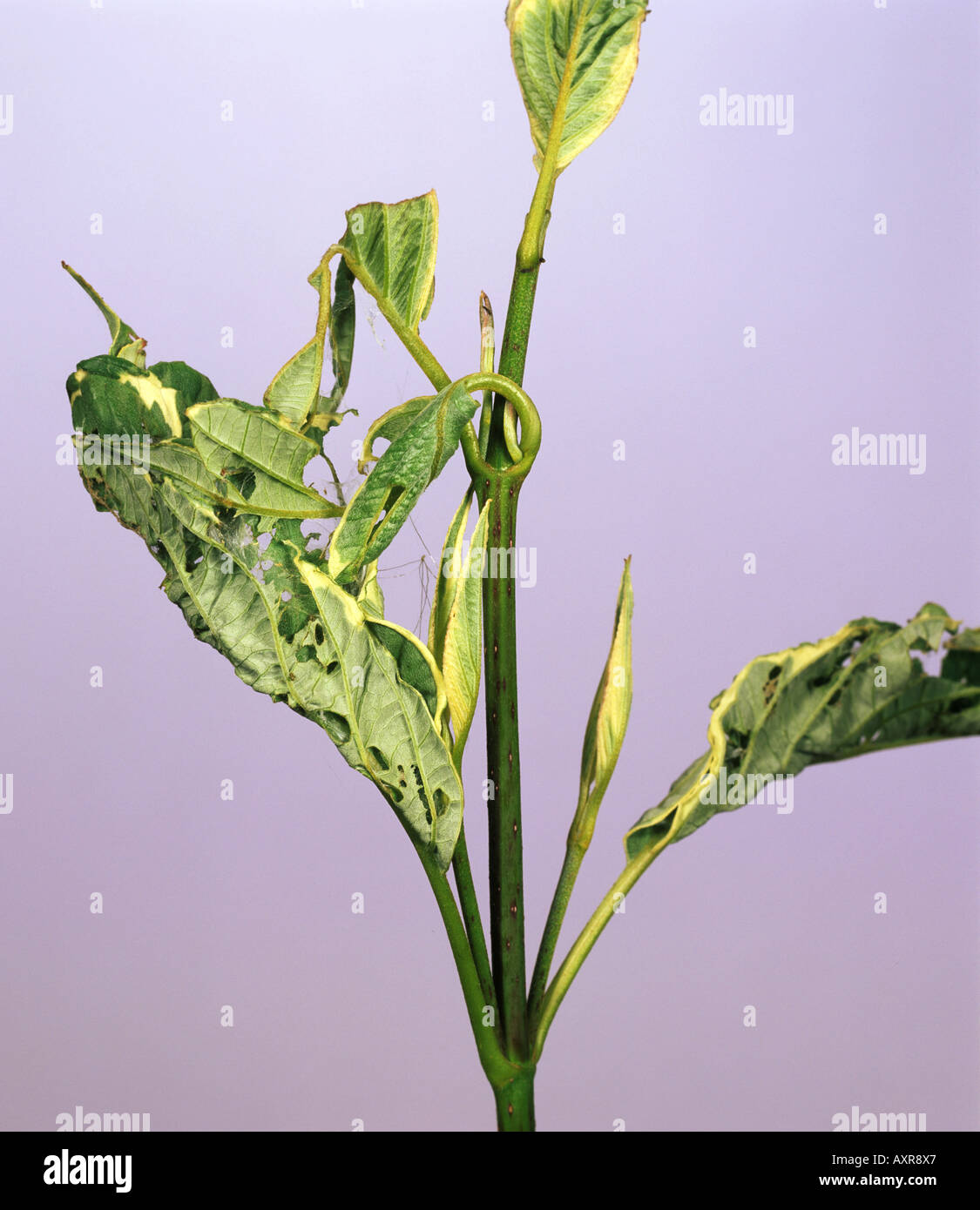Hazel tortrix moth Pandemis corylana spun leaves damage to dogwood Cornus sp - Stock Image