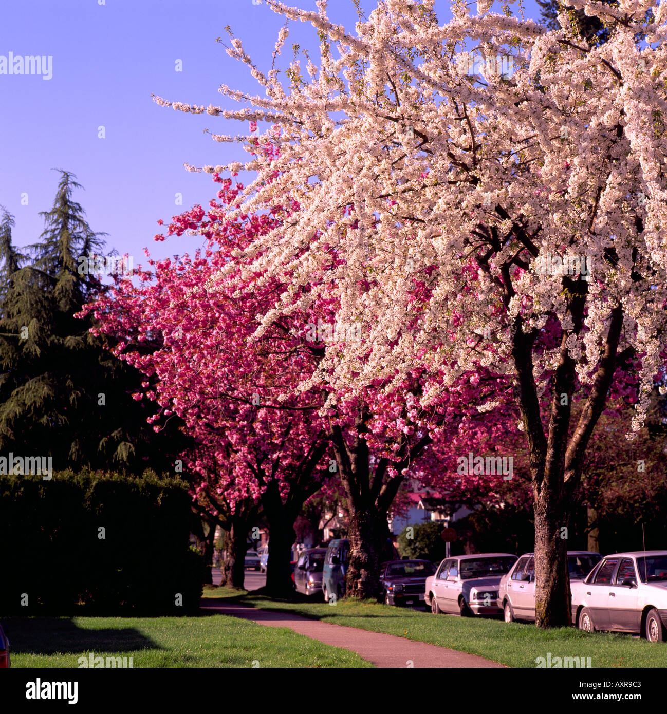 Japanese Cherry Trees In Blossom Blooming In Spring Vancouver Bc British Columbia Canada Stock Photo Alamy