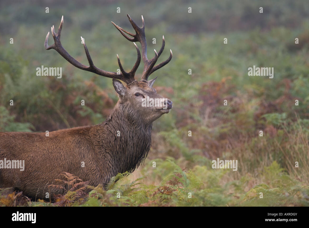 Red Deer Stag (Cervus elaphus) during rutting season - Stock Image