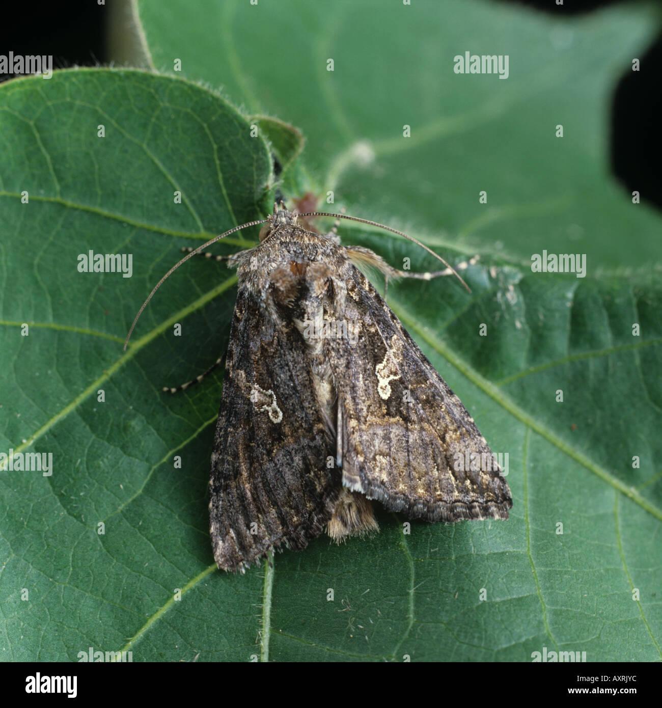 Cabbage looper Trichoplusia ni moth adult on a cotton leaf