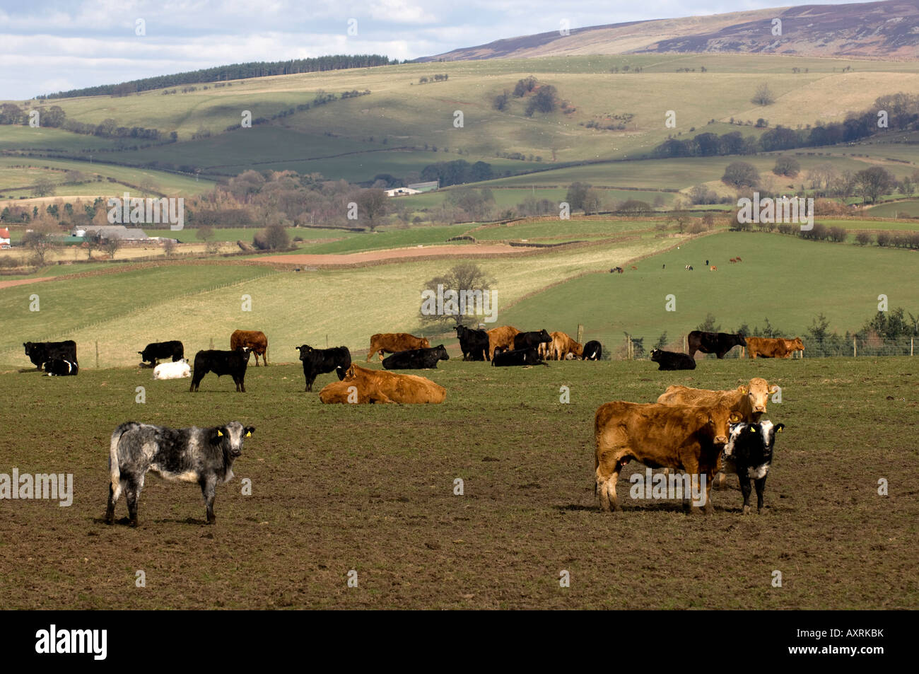 Outwintering beef cattle in the Eden Valley Cumbria - Stock Image