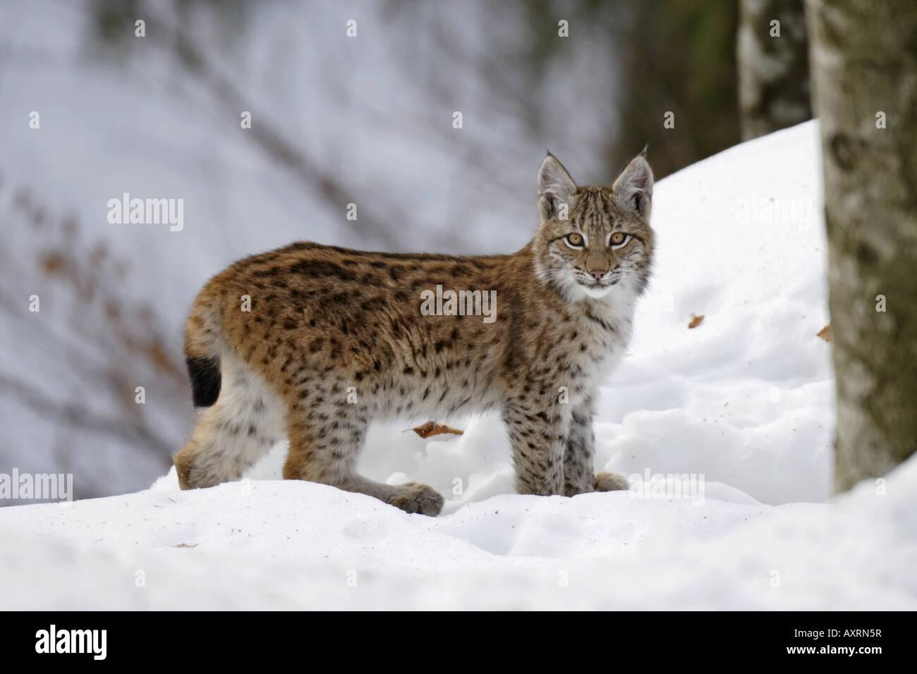 Junger Luchs juvenil lynx - Stock Image