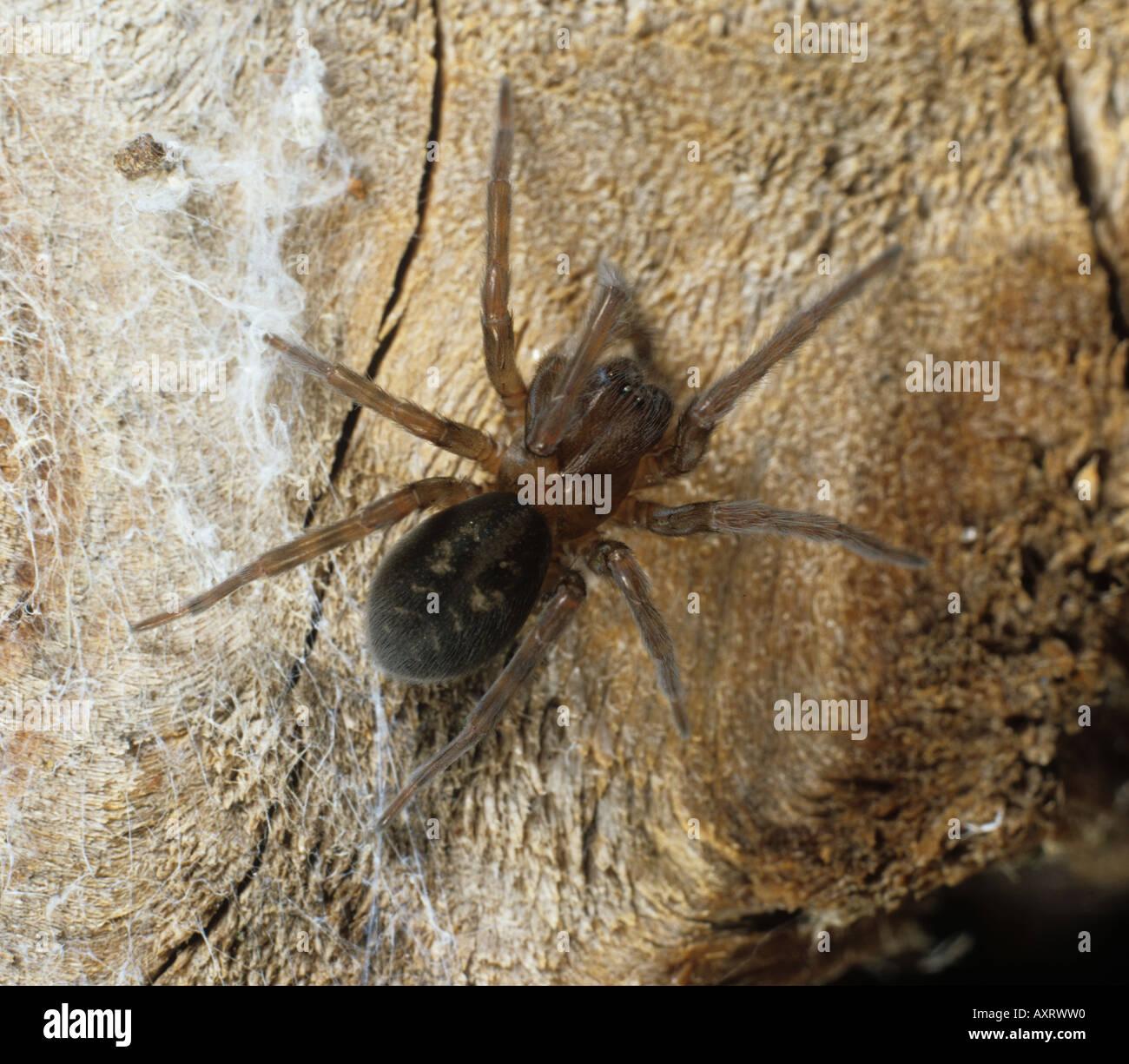 Adult lace web spider Amaurobius ferox female - Stock Image