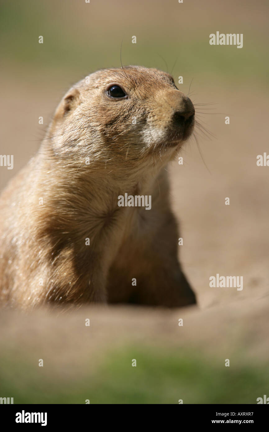 Prairie dog looking for enemies - Cynomys ludovicianus - Stock Image