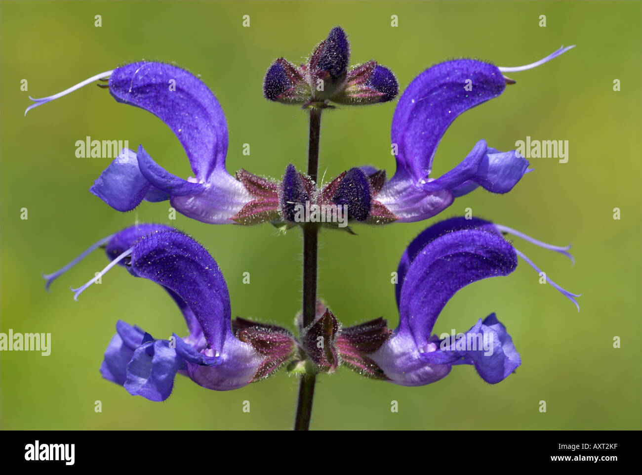 Meadow Clary Salvia pratensis Queendown Warren Kent Wildlife Trust Rare UK - Stock Image
