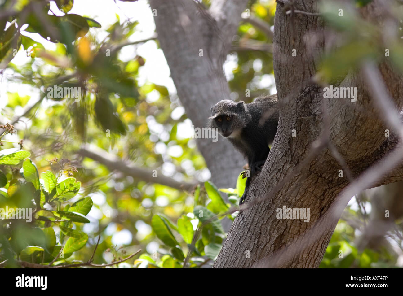Blue monkey at Mafia Island Tanzania - Stock Image