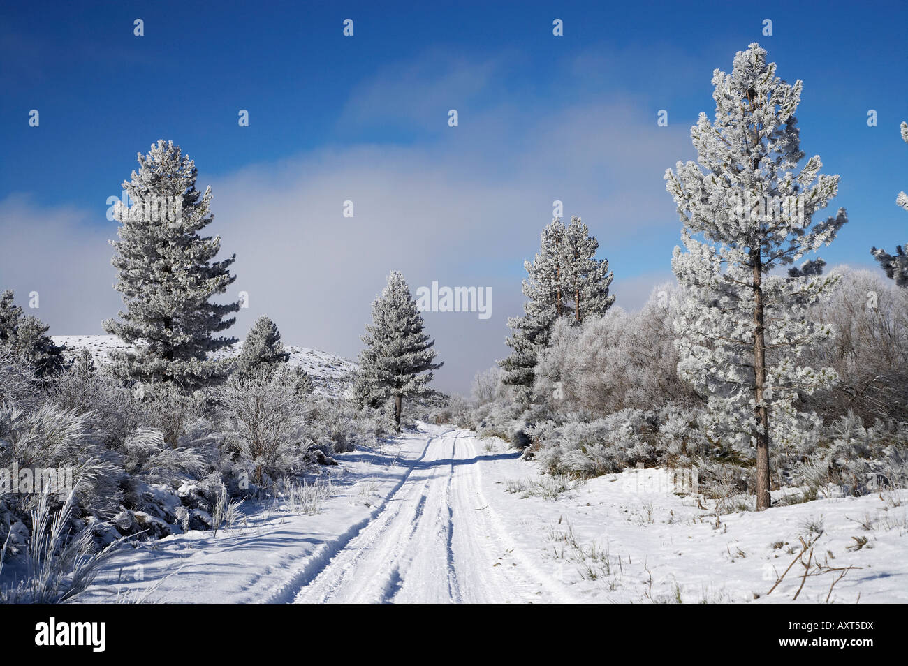 Snowy Track and Pine Trees Cambrians near St Bathans Maniototo South Island New Zealand - Stock Image