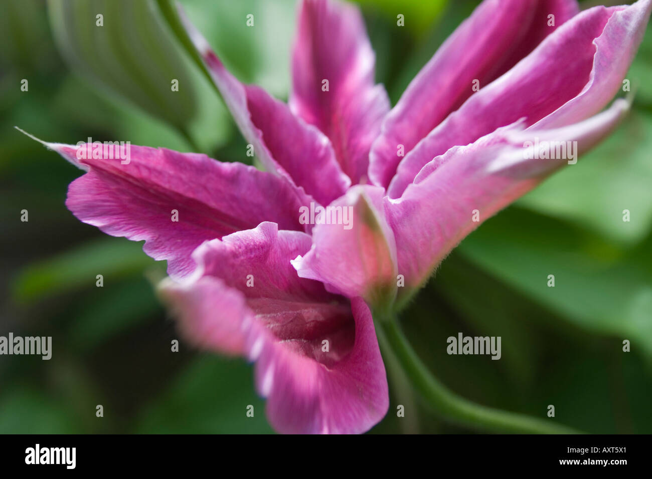 Clematis Nelly Moser Single Pink Flower Opening Stock Photo