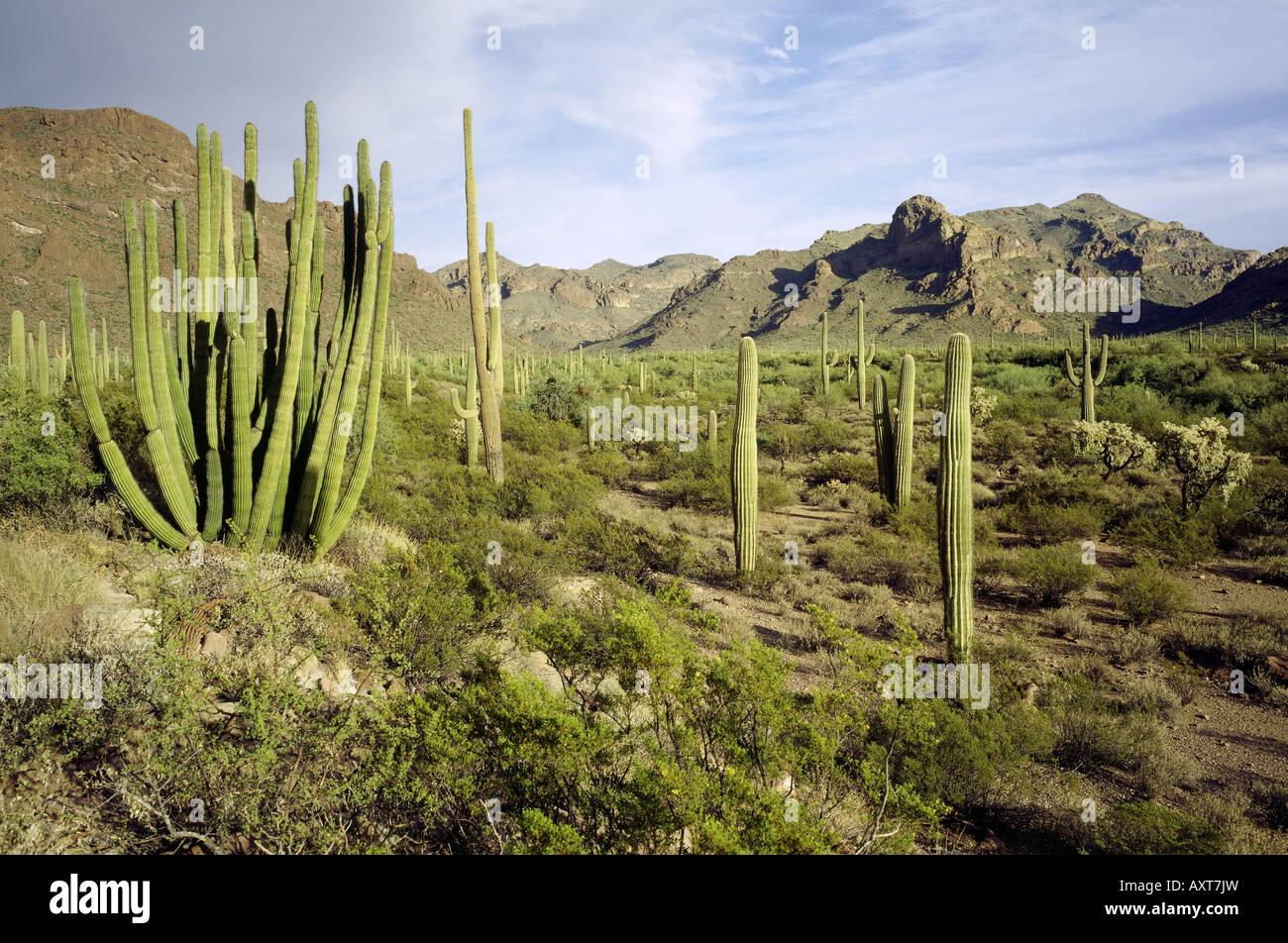 geography / travel, USA, Arizona, Organ Pipe Cactus National monument, cactus landscape, landscapes, saguaro cactus, Stock Photo