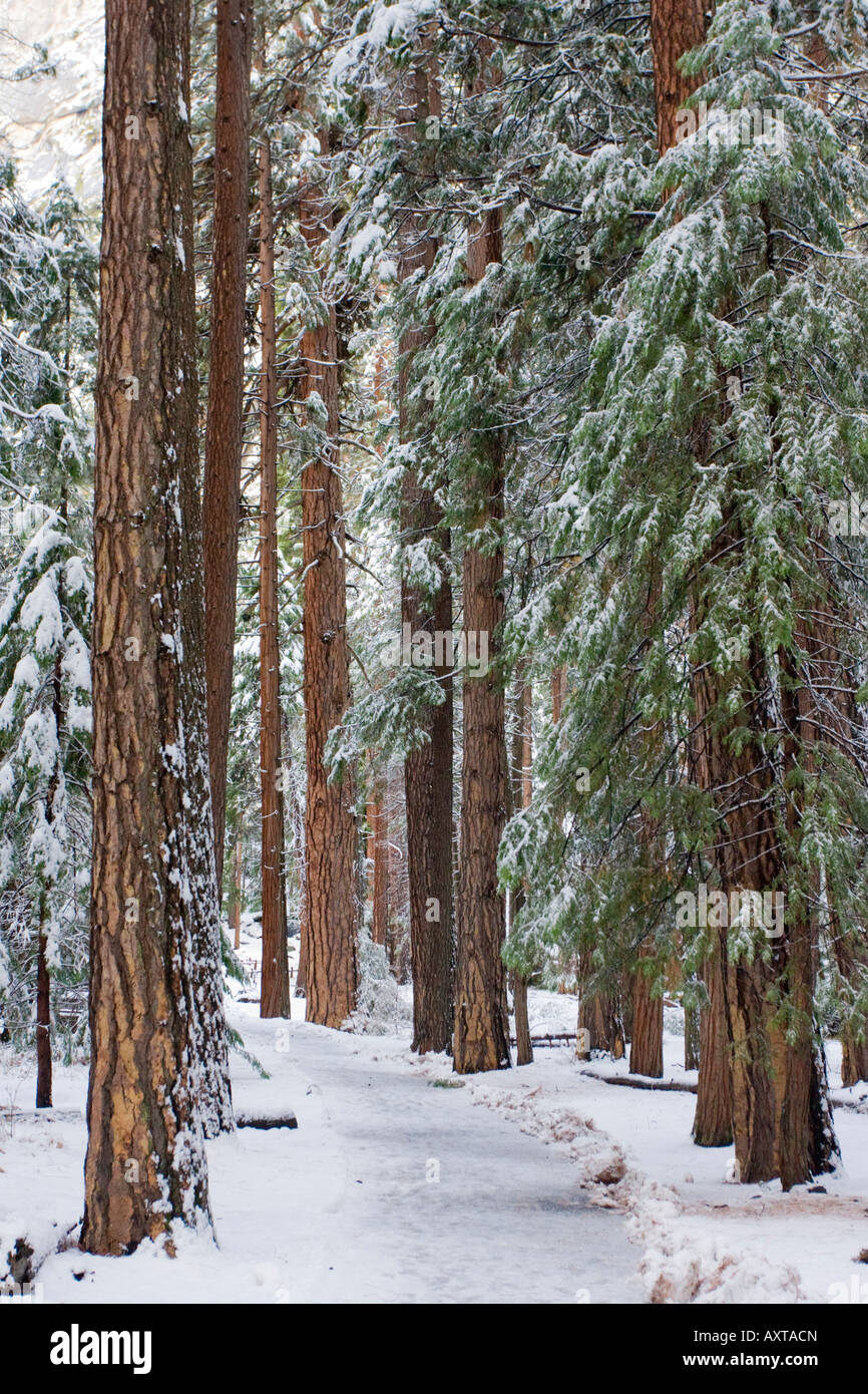 Fir trees in the snow Yosemite Valley USA - Stock Image