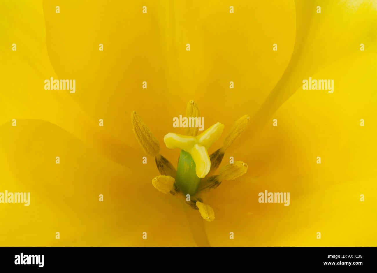 Tulipa 'Moonshine'. Division 6 Lily flowered Tulip. - Stock Image