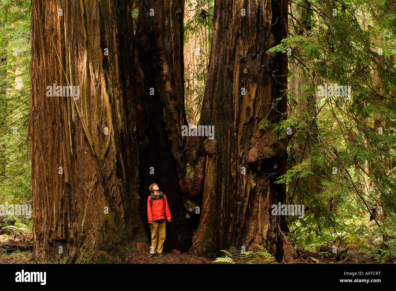 A boy stands amidst the towering redwoods of Montgomery Woods State Reserve Stock Photo