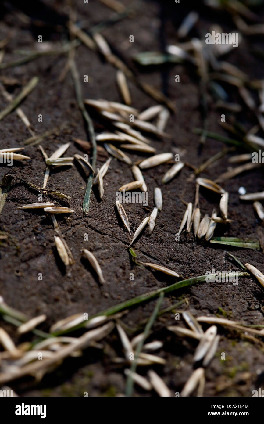 Grass seed before germination - Stock Image