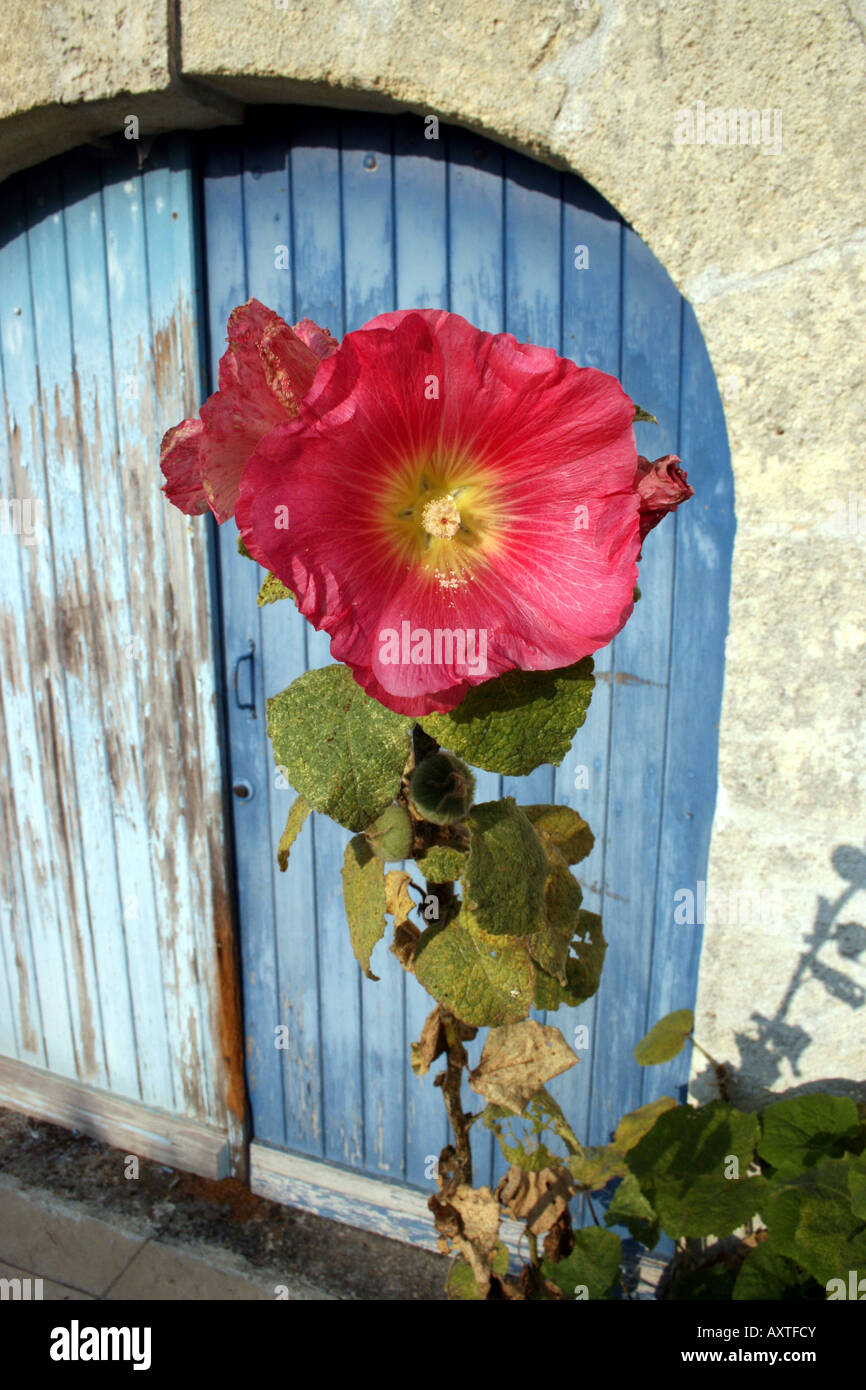 Large pink hibiscus flower with yellow stamens and centre with large pink hibiscus flower with yellow stamens and centre with french charentaise style powder blue barn door as background izmirmasajfo