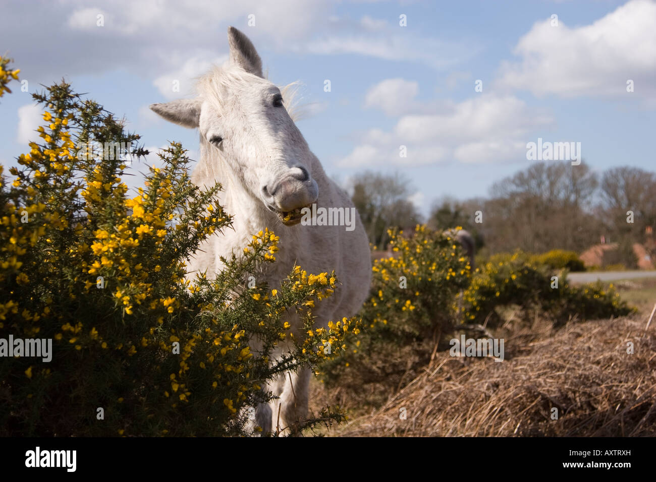 new forest pony eating gorse - Stock Image