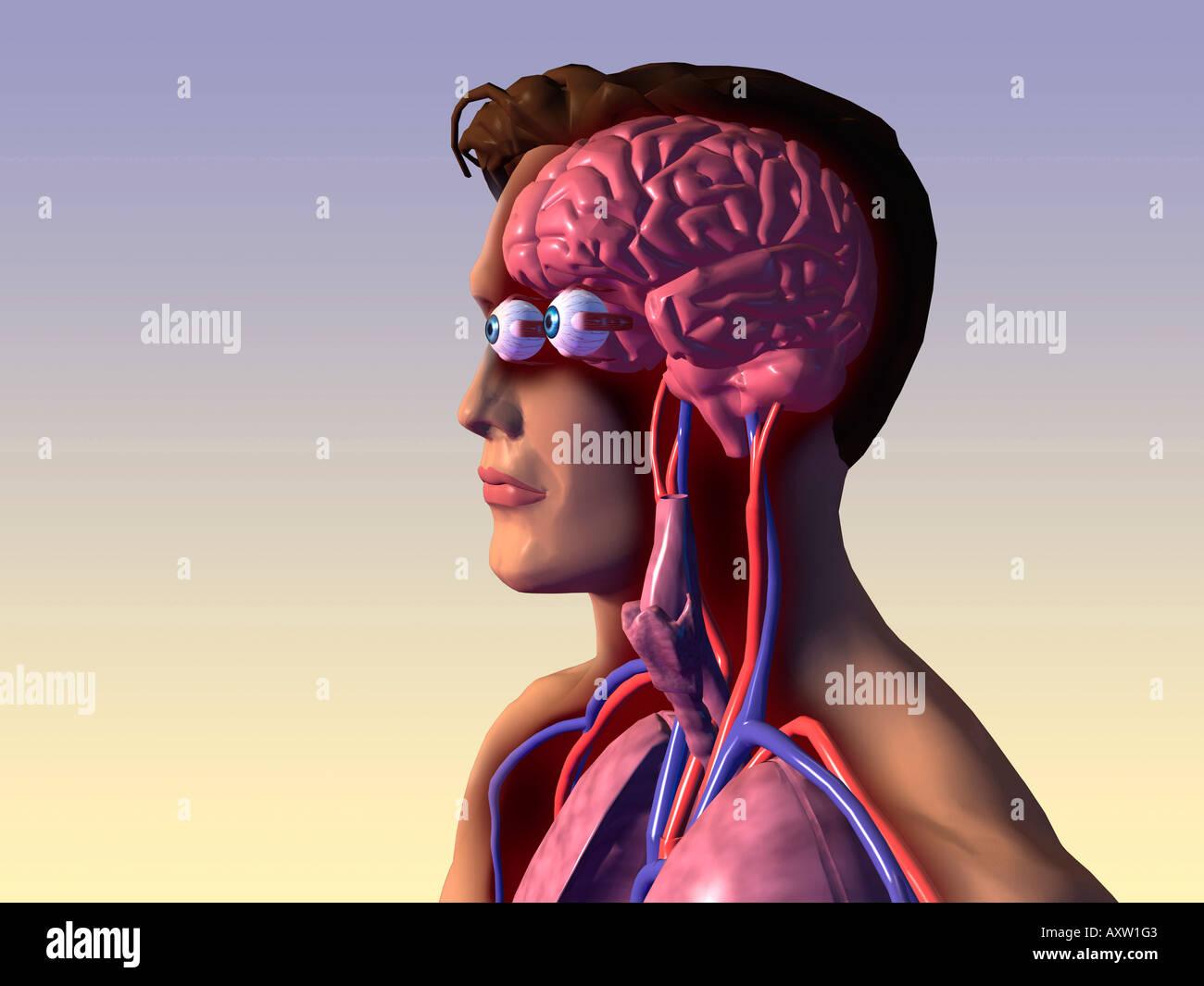 Inner Human Organs Stock Photos Inner Human Organs Stock Images