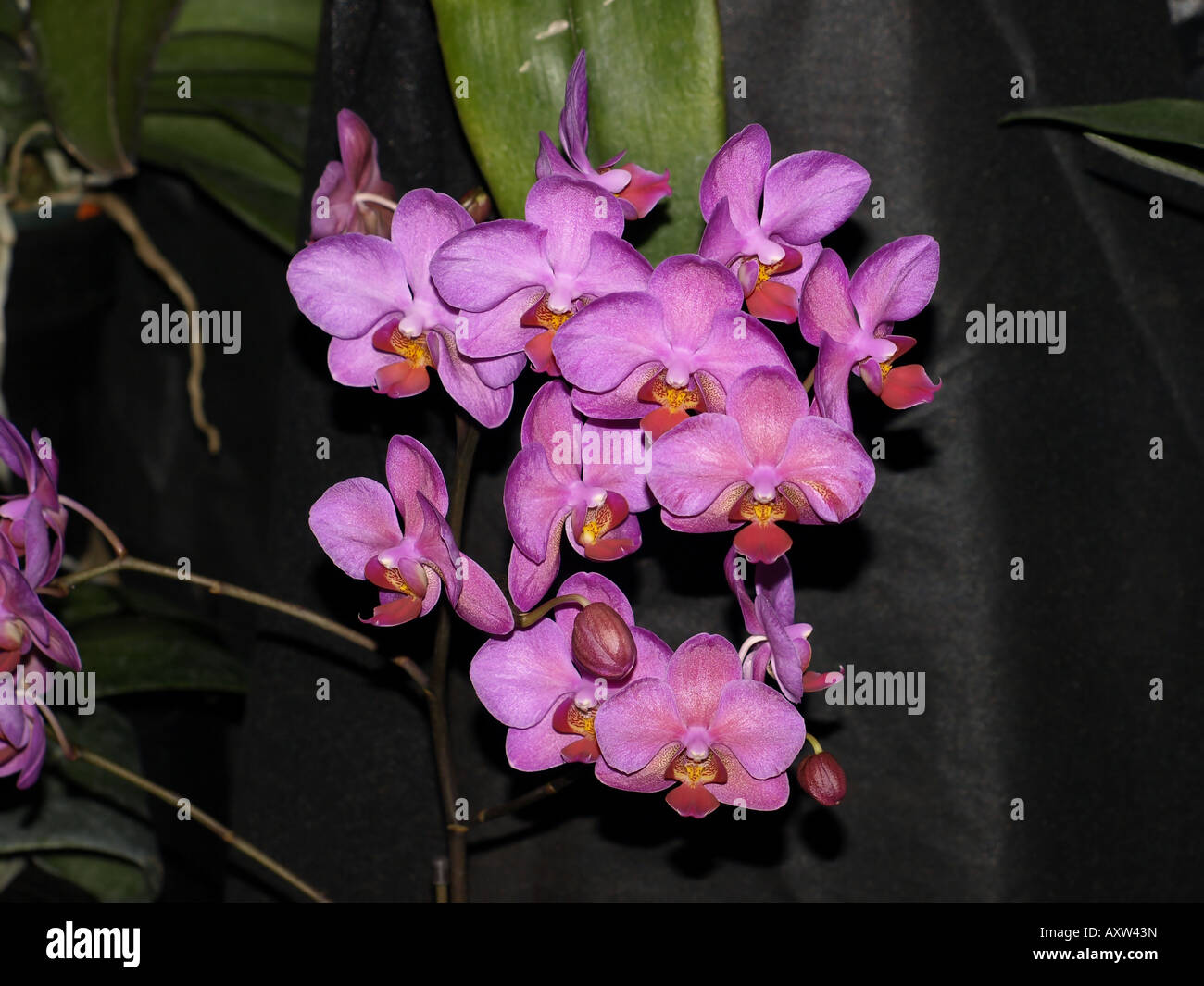 pink redish center orchid flower tropical plant hawaii floral - Stock Image