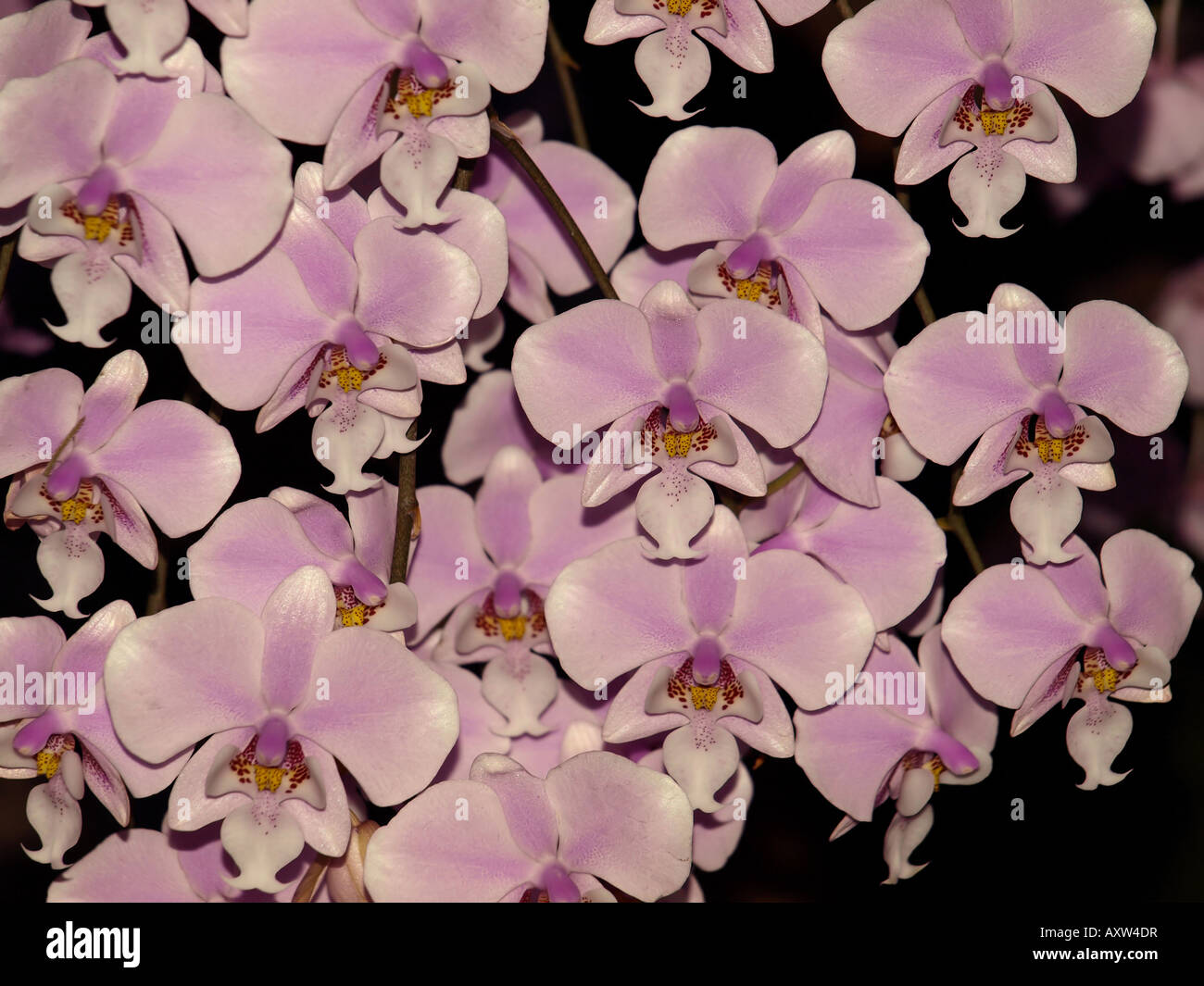 pink redish centre orchid flower tropical plant hawaii floral - Stock Image