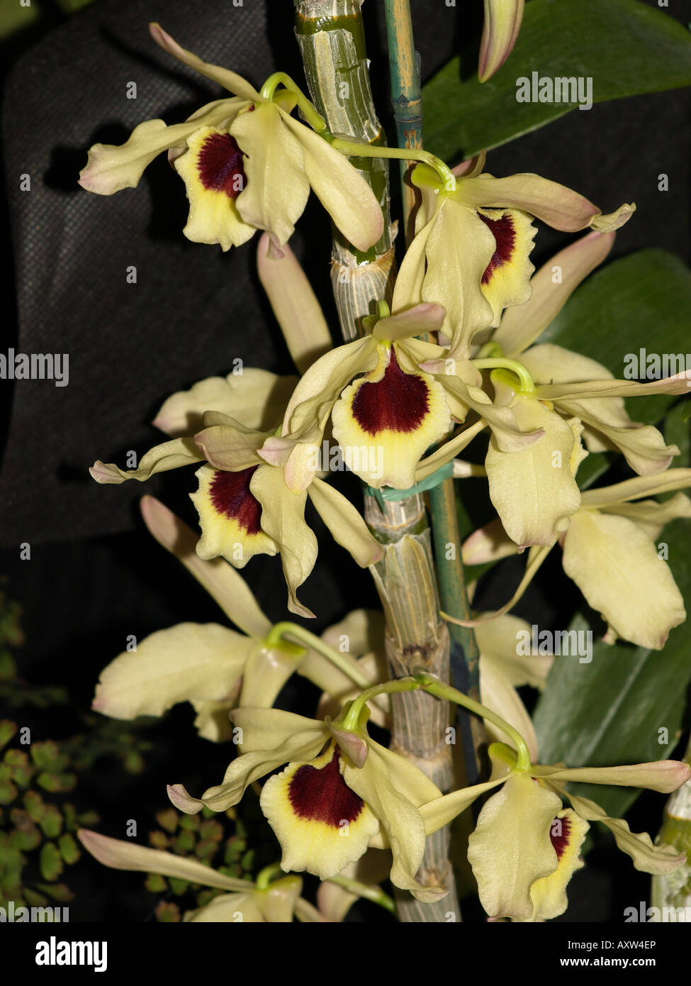 yellow redish centre orchid flower tropical plant hawaii floral - Stock Image
