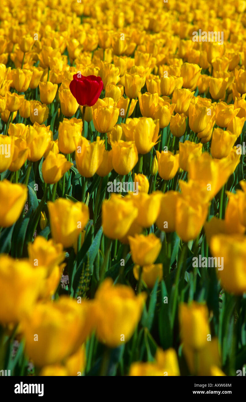 Single red tulip rising above a field of yellow tulips La Conner Washington USA - Stock Image