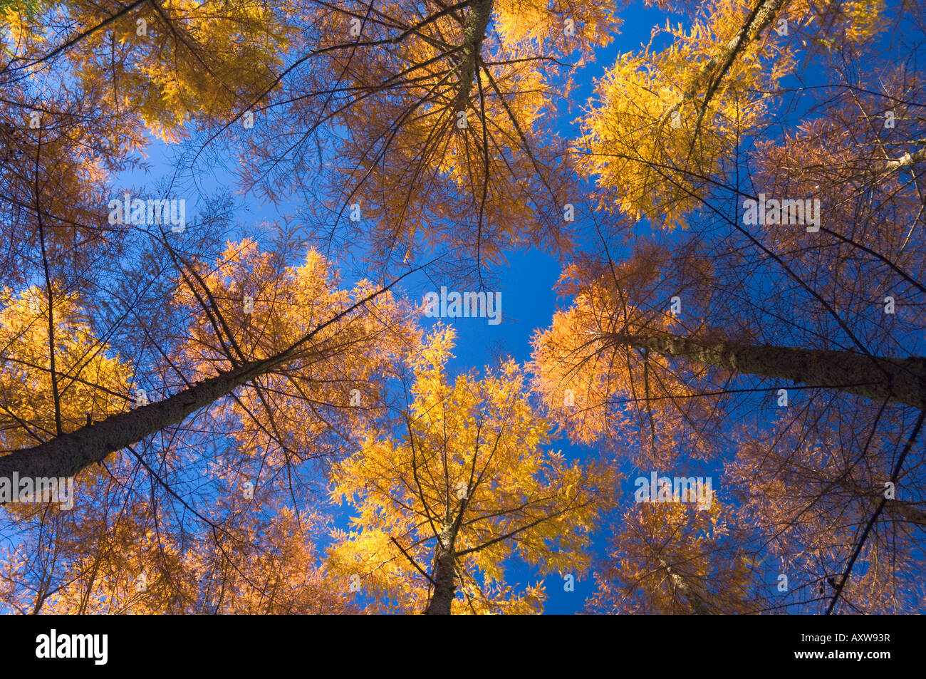 Japanese larches, Hanmer Springs, Canterbury, South Island, New Zealand, Pacific Stock Photo
