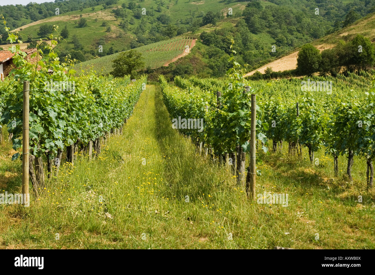 Vineyards in countryside near Saint Jean Pied de Port, Basque country, Pyrenees-Atlantiques, Aquitaine, France - Stock Image