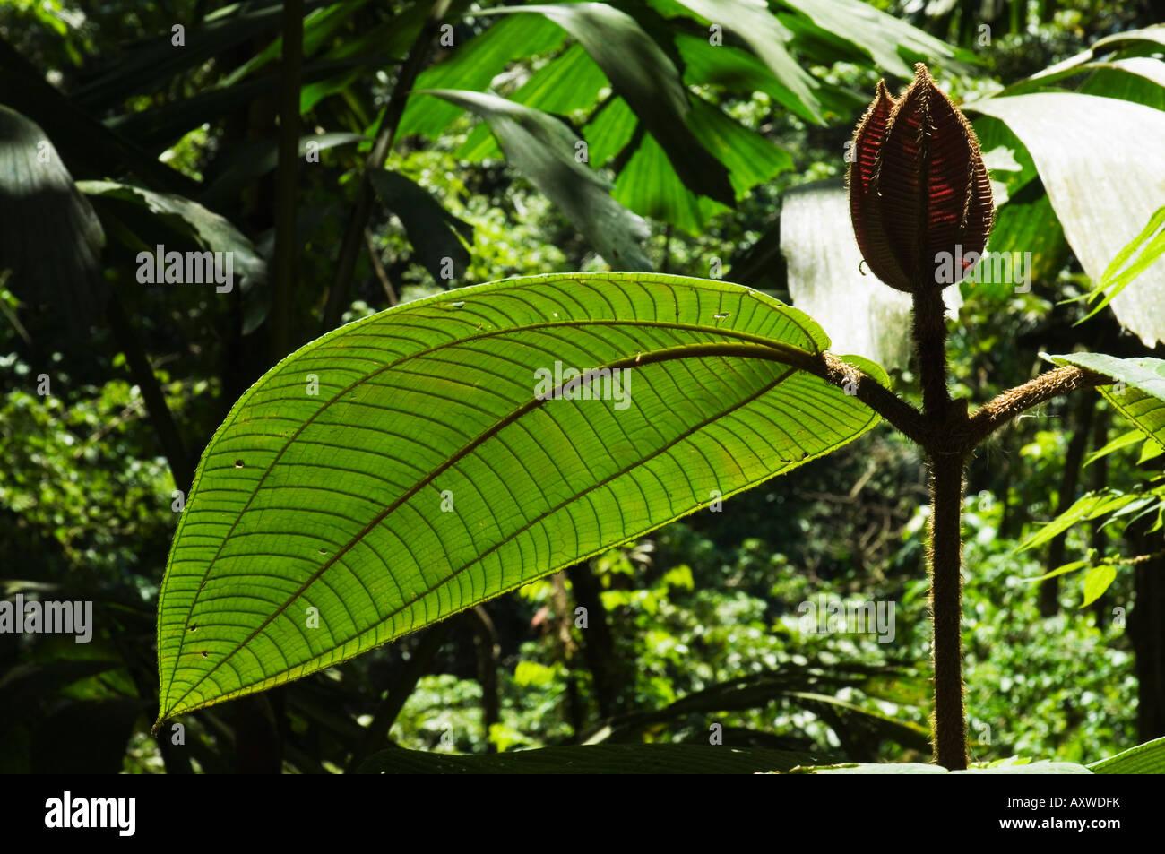 Rainforest vegitation, Hanging Bridges walk, Arenal, Costa Rica - Stock Image