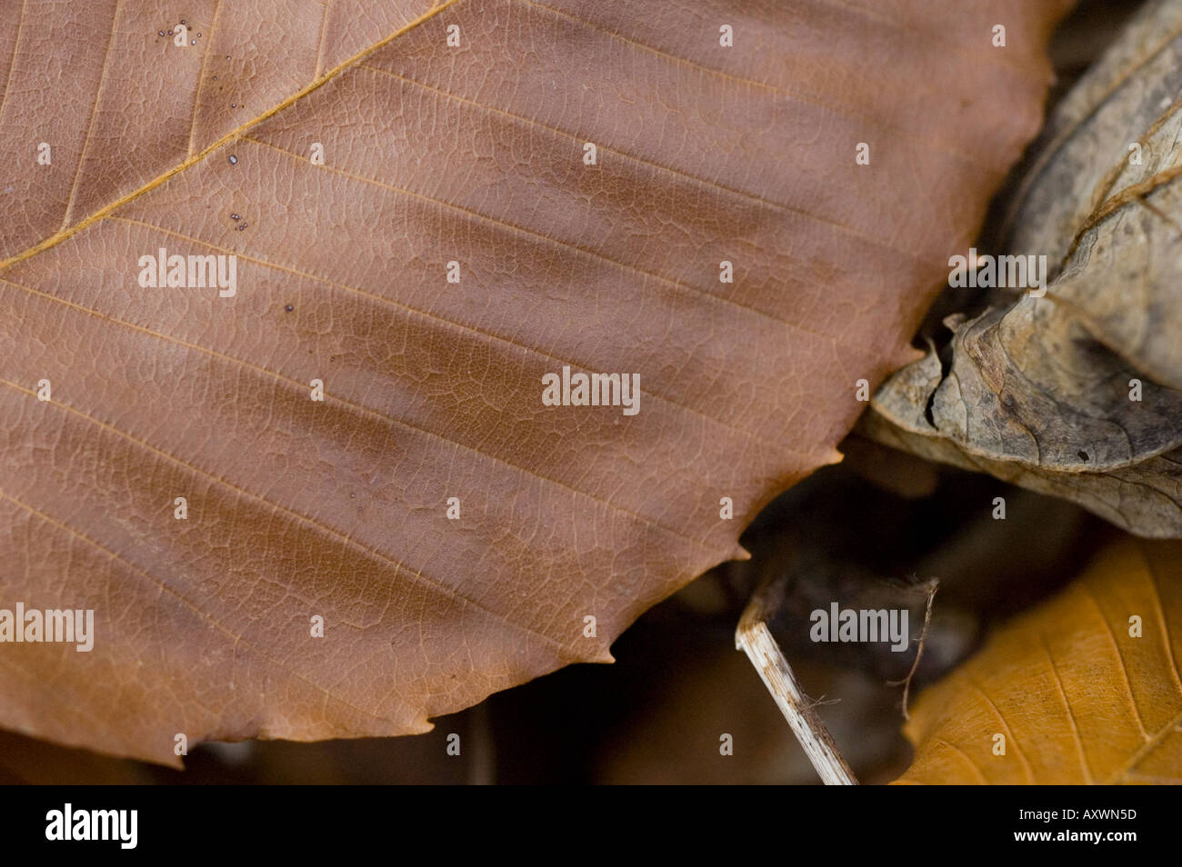 Fallen and brown birch leaves New Brunswick Canada - Stock Image