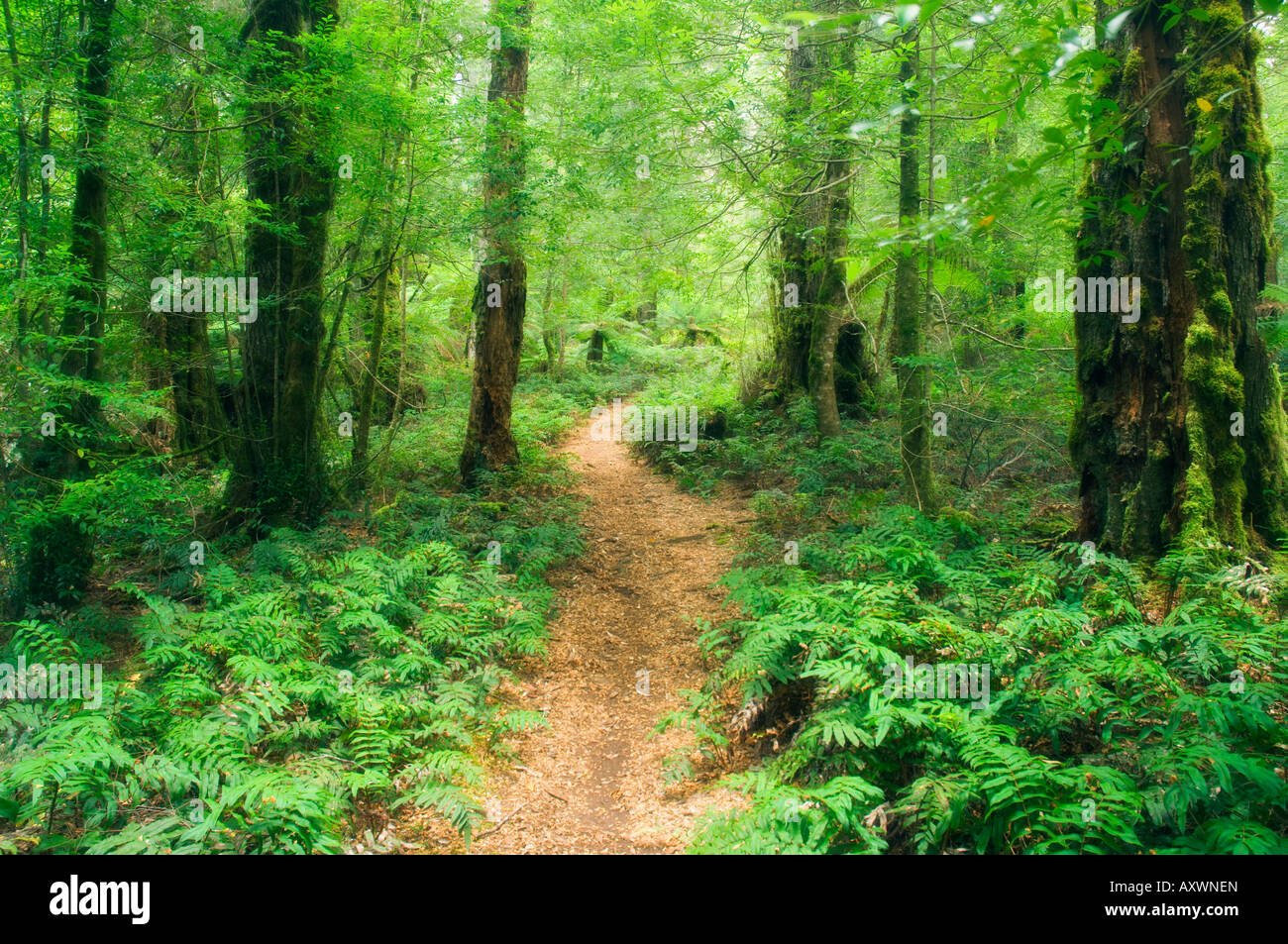 Footpath through Myrtle Beech Trees in the temperate rainforest, Yarra Ranges National Park, Victoria, Australia, - Stock Image