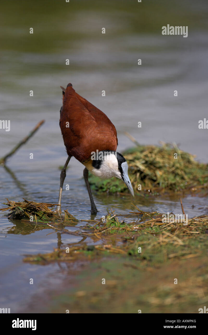 African jacana (Actophilornis africanus), Kruger National Park, South Africa, Africa - Stock Image