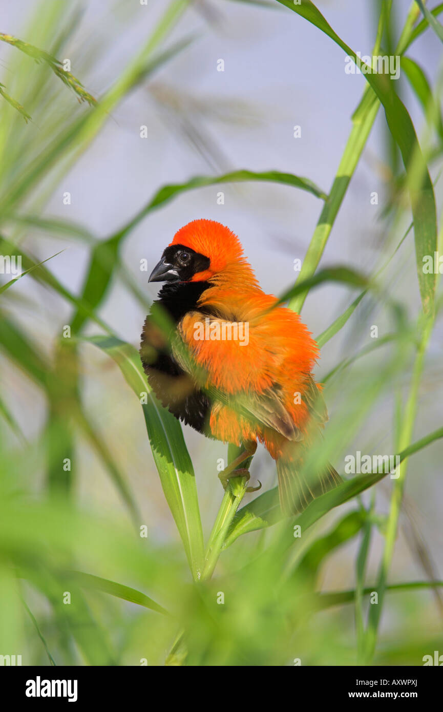 Southern red bishop (Euplectes orix), male in breeding plumage, Pilanesberg National Park, North West Game Reserve, - Stock Image