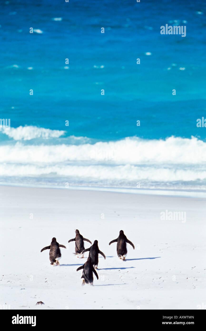 King penguins (Aptenodytes patagonicus) running into the sea, Volunteer Point, East Falkland, Falkland Islands, - Stock Image