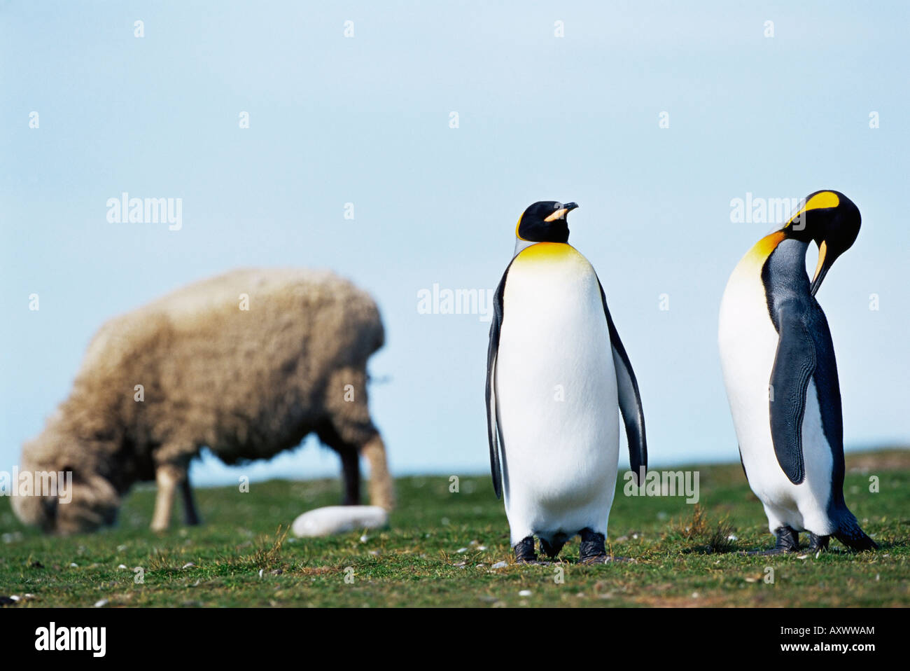 King penguins (Aptenodytes patagonicus) sharing their territory with a sheep, Volunteer Point, East Falkland, Falkland - Stock Image