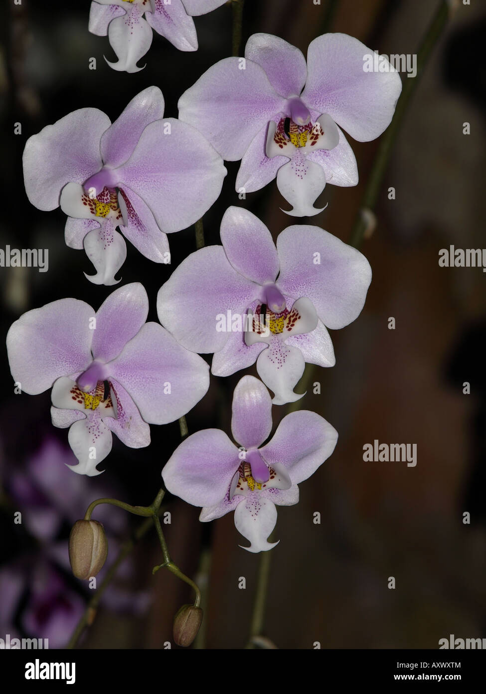lavender pink redish centre orchid flower tropical plant hawaii floral - Stock Image