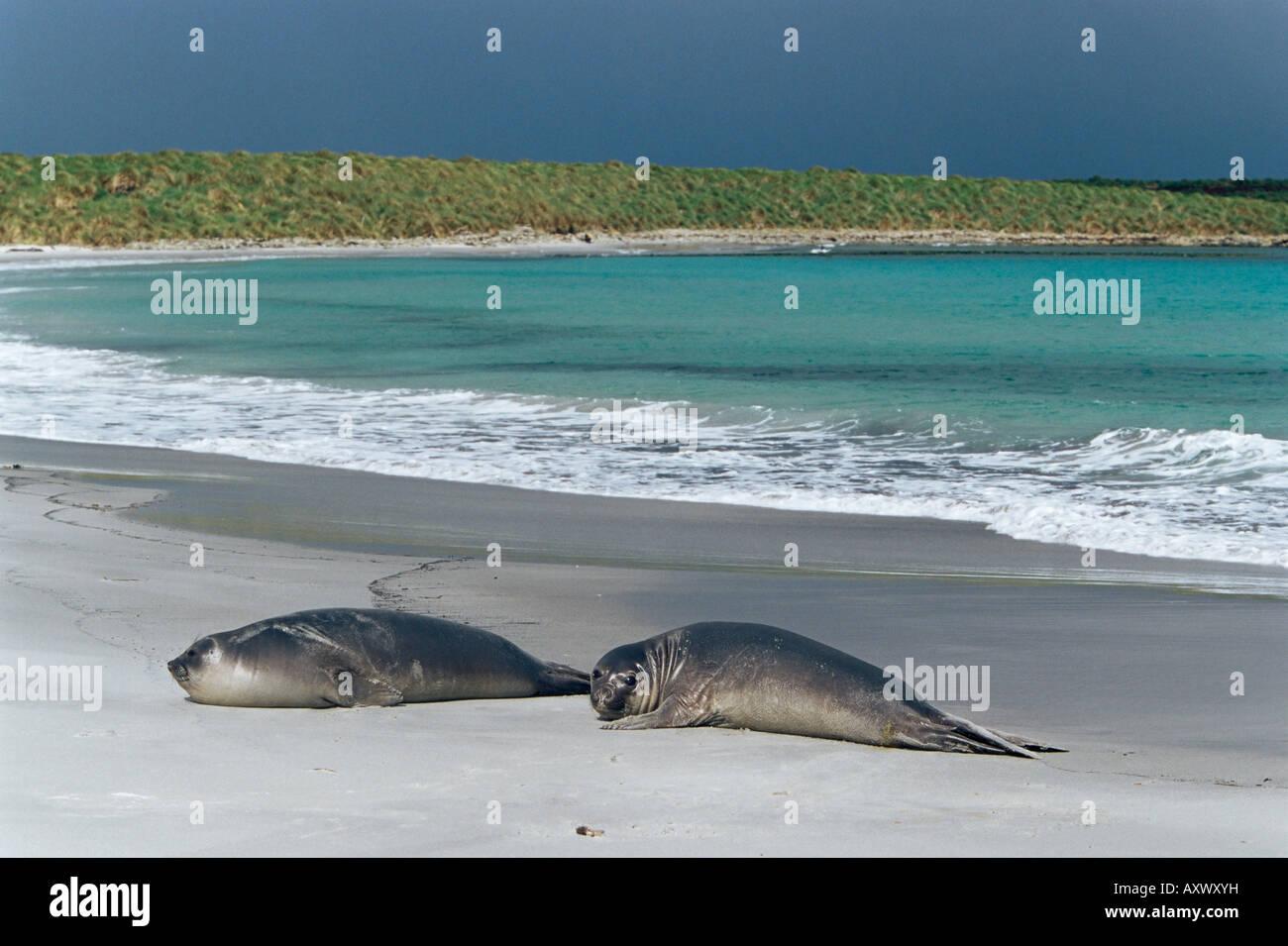 Elephant seals relaxing on the beach, Sea Lion Island, Falkland Islands, South Atlantic, South America - Stock Image