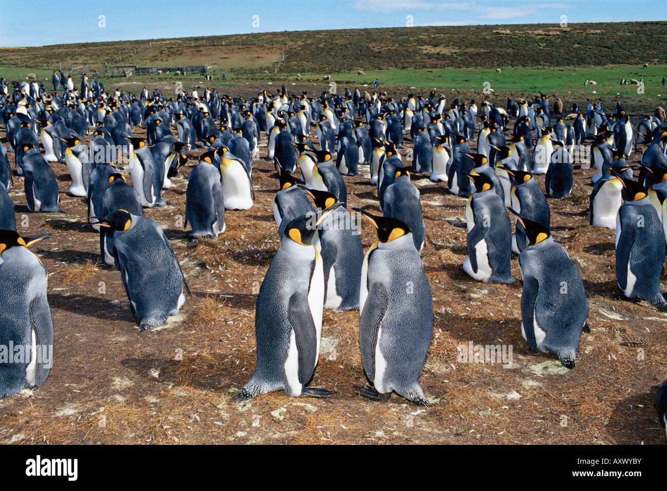 Colony of king penguins (Aptenodytes patagonicus), Volunteer Point, East Falkland, Falkland Islands, South Atlantic - Stock Image