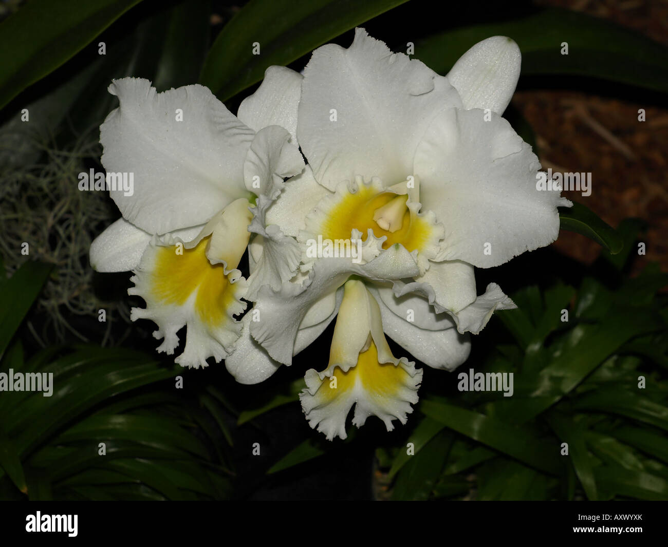 White yellow center orchid flower yard plant tropical hawaii stock white yellow center orchid flower yard plant tropical hawaii mightylinksfo Image collections