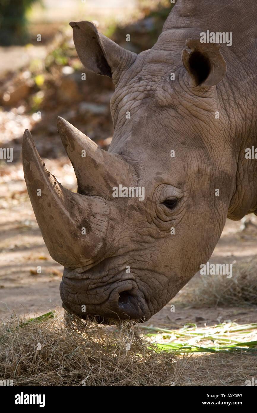 A white rhinoceros eats. - Stock Image