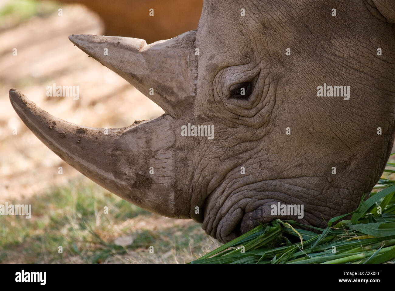A white rhinoceros eats. This image was photographed in Mysore Zoo not in the wild - Stock Image
