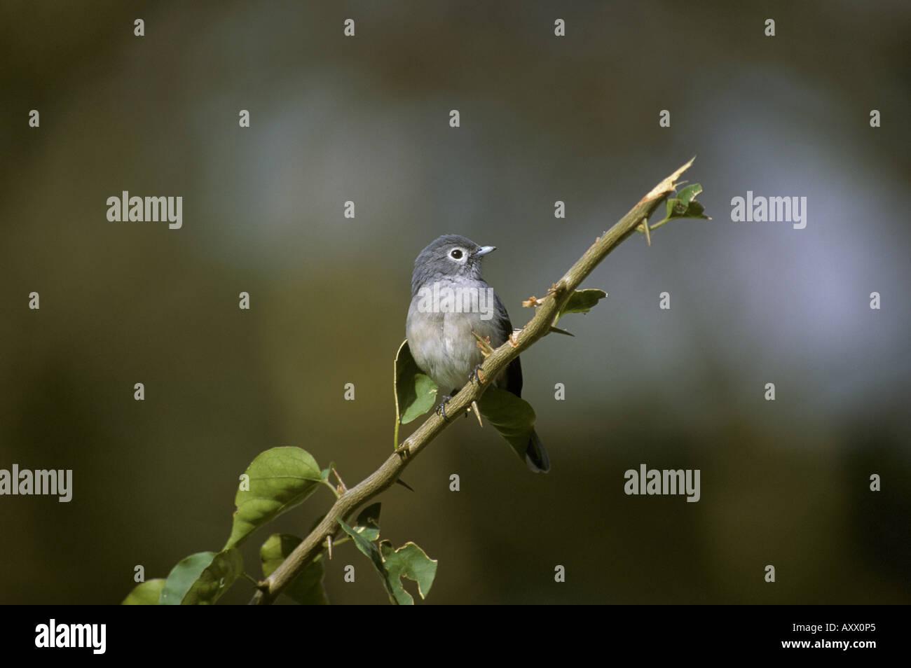 White eyed Slaty Flycatcher Melaenornis fischeri Perched - Stock Image