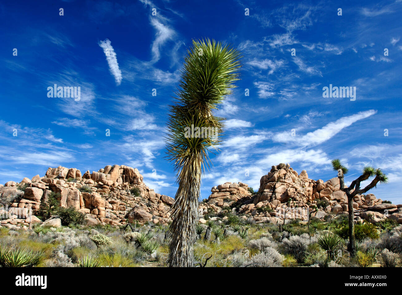 A Joshua Tree against a blue sky and boulders in the Joshua Tree National Park Southern California - Stock Image